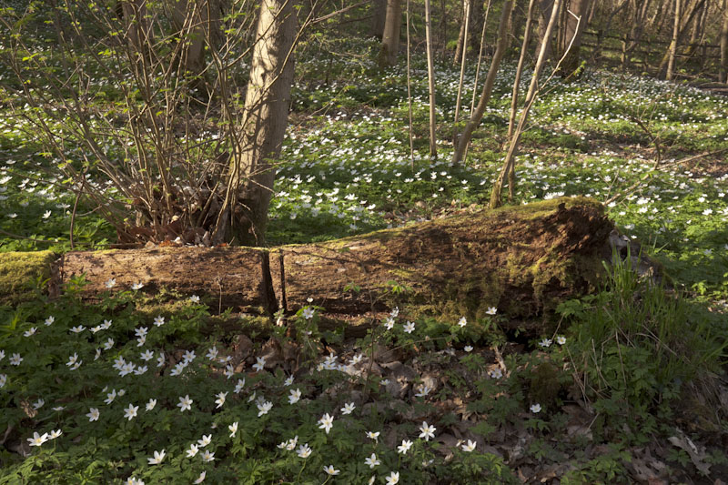 """carpets of wood anemone in gillfield wood"