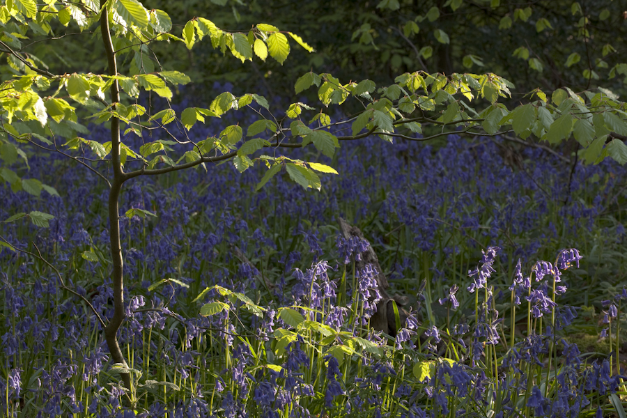 Sheffield Woodland Connections – bluebells in Ecclesall Woods 8th May 2020