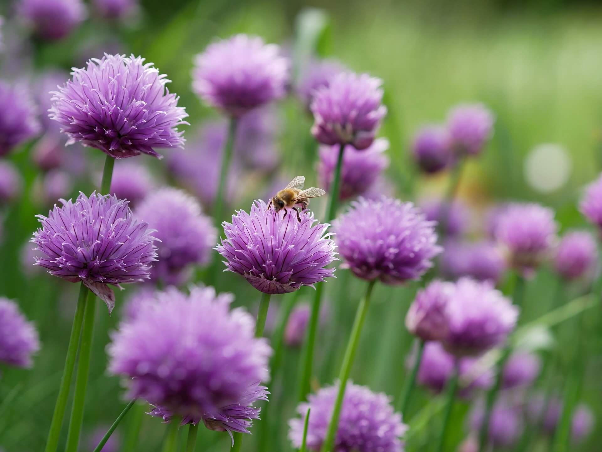 Top five herbs for the wildlife garden